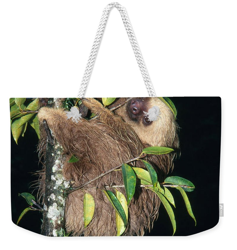 Fauna Weekender Tote Bag featuring the photograph Two-toed Sloth Choloepus Didactylus by Anthony Mercieca