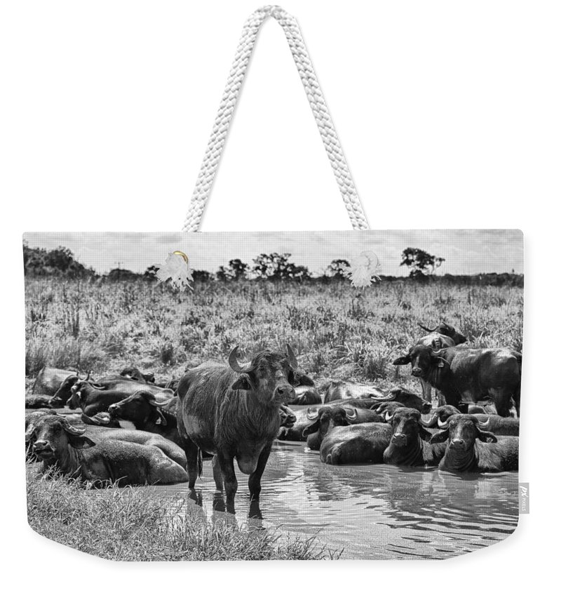 Water Buffalo Weekender Tote Bag featuring the photograph Water Buffaloes-black And White by Douglas Barnard