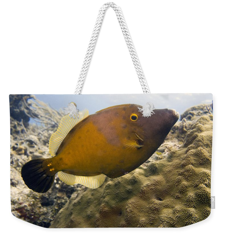 Filefish Weekender Tote Bag featuring the photograph White Spotted Filefish by Jim Murphy