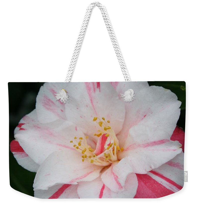 White Camellia Weekender Tote Bag featuring the photograph White With Pink Camellia by Christiane Schulze Art And Photography