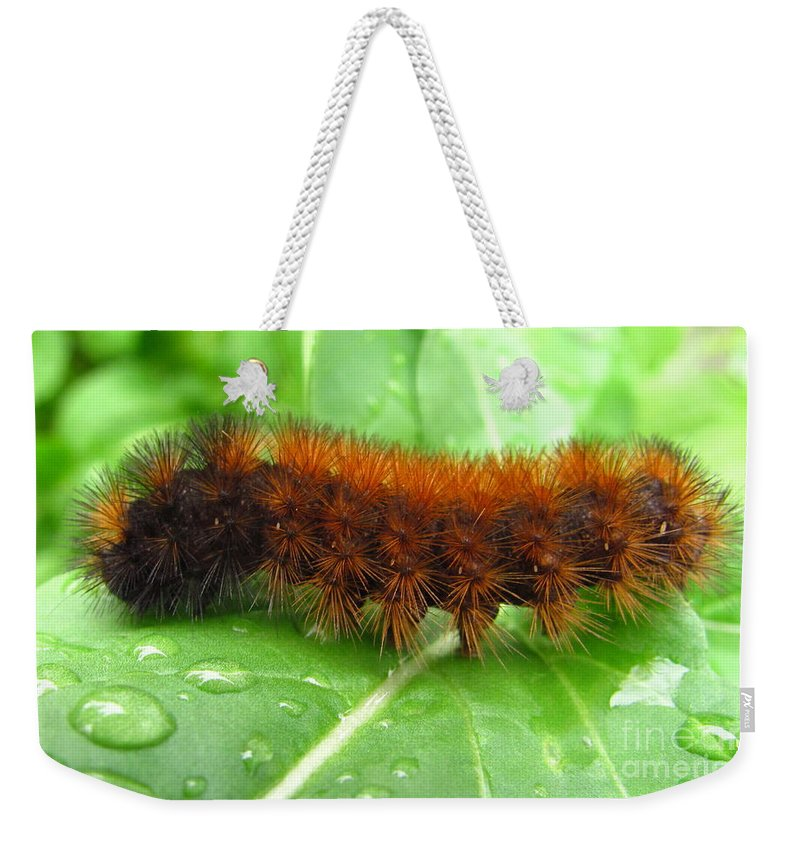Wooly Bears Wooly Bear Caterpillar Images Fuzzy Caterpillar Prints Isabella Tiger Moth Caterpillar Orange And Black Caterpillar Black And Brown Caterpillar Maryland Caterpillar Identification Caterpillar Id American Caterpillars Spiny Caterpillar Harmless Caterpillars Entomology Natural Science Nature Prints Naturalist Nature Study Nature Walk Nature Photography Tree Hugger Oldgrowth Forest Biodiversity Preservation Wildlife Conservation Organic Garden Organic Farming Banded Wooly Bear Pics Weekender Tote Bag featuring the photograph Wooly Bear by Joshua Bales