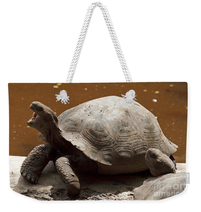 Galapagos Giant Tortoise Weekender Tote Bag featuring the photograph yawning juvenile Galapagos Giant Tortoise by Jason O Watson