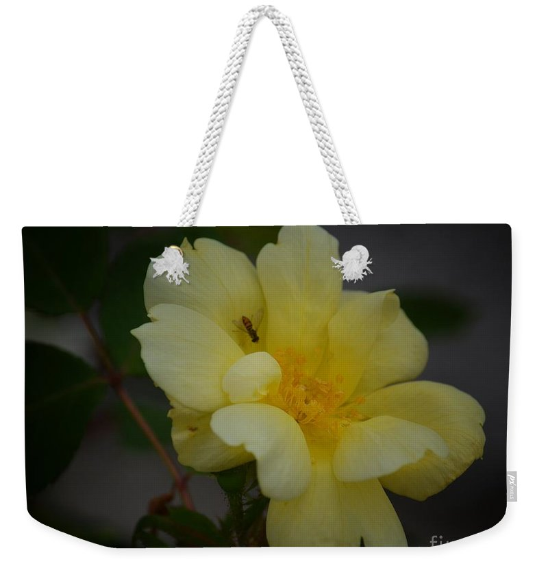 Yellow Rose 14-1 Weekender Tote Bag featuring the photograph Yellow Rose 14-1 by Maria Urso
