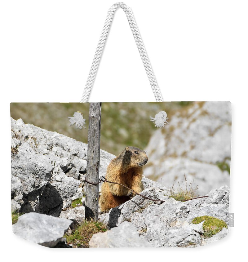 Alpine Weekender Tote Bag featuring the photograph Young Marmot by Antonio Scarpi