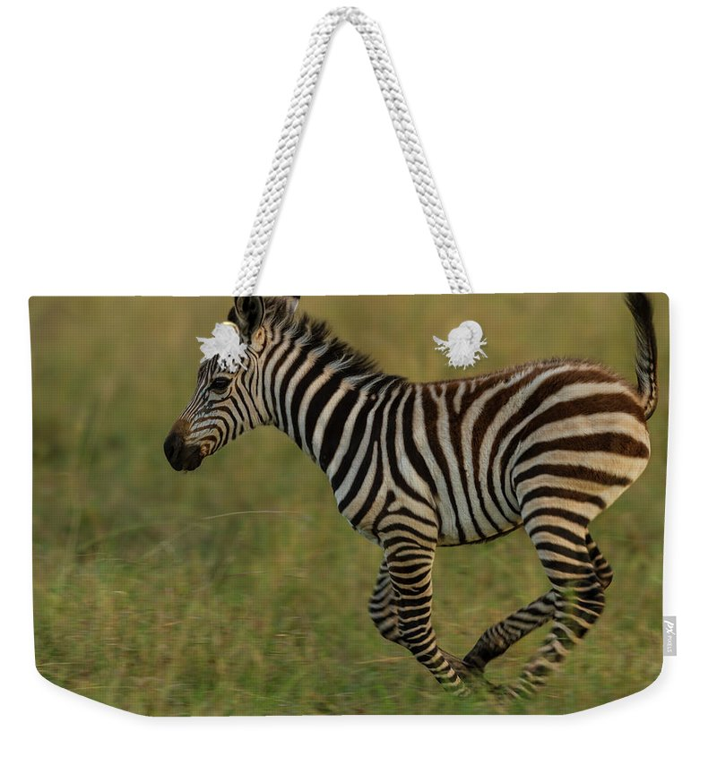 Plains Zebra Weekender Tote Bag featuring the photograph Zebra Foal Running For Joy by Manoj Shah