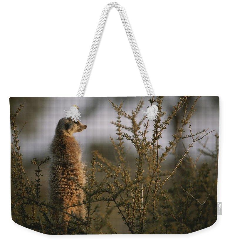 Africa Weekender Tote Bag featuring the photograph A Meerkat Suricata Suricatta Stands by Mattias Klum