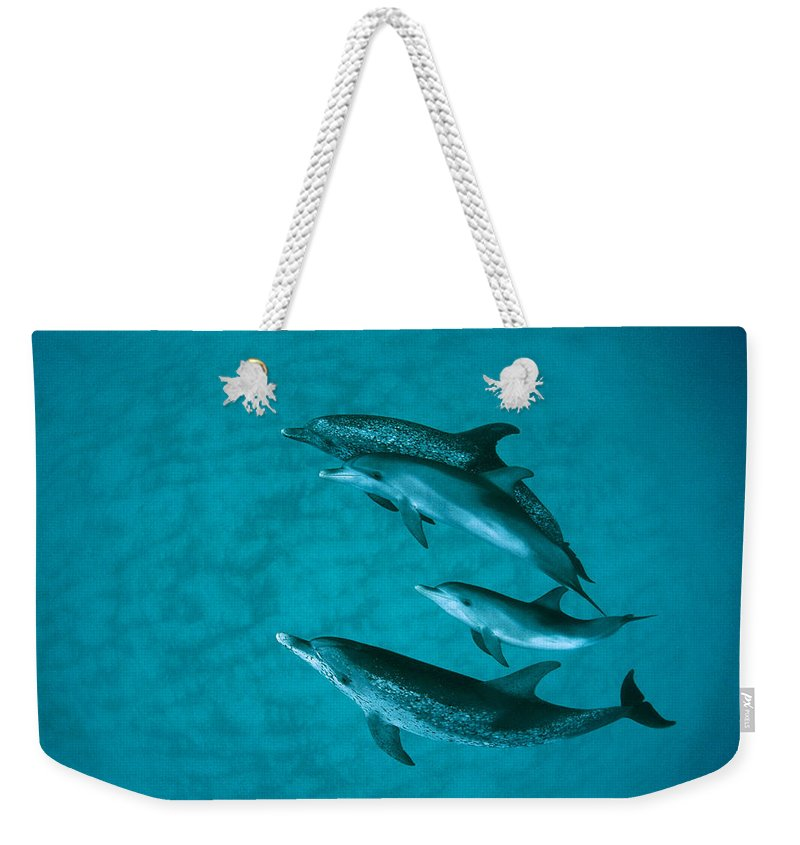 Mp Weekender Tote Bag featuring the photograph Atlantic Spotted Dolphins by Flip Nicklin