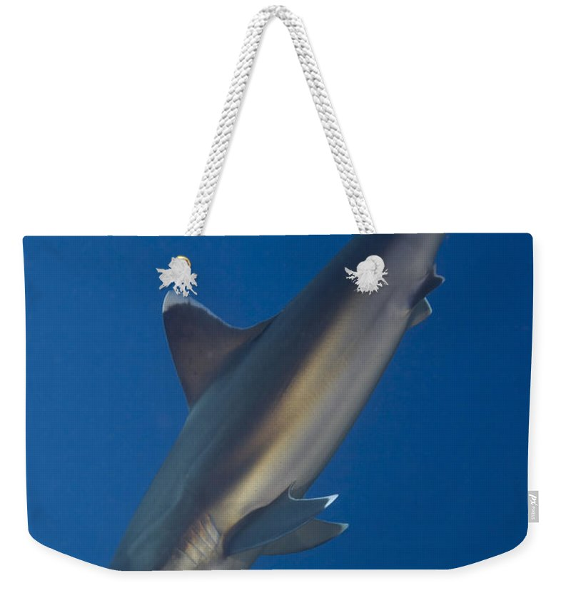 Carcharhinus Albimarginatus Weekender Tote Bag featuring the photograph Silvertip Shark, Kimbe Bay, Papua New by Steve Jones