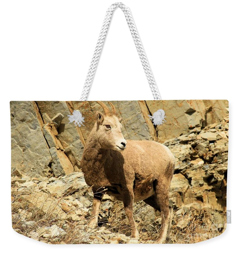 Big Horn Sheep Weekender Tote Bag featuring the photograph Strike A Pose by Adam Jewell