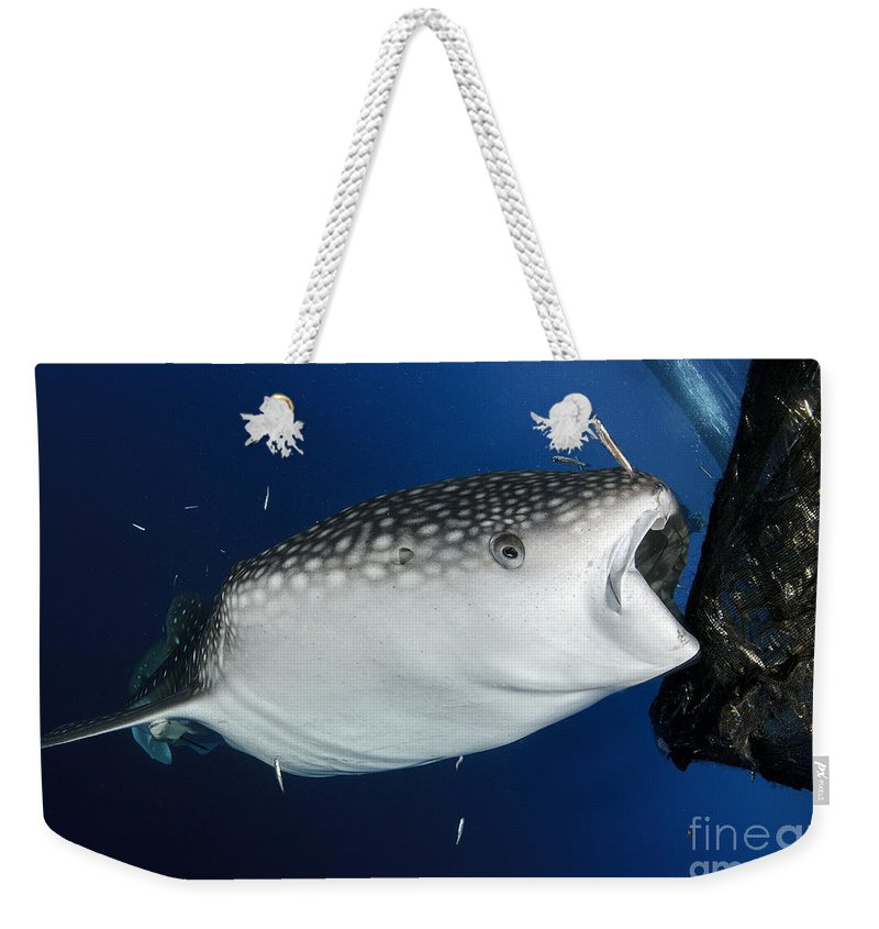 Day Weekender Tote Bag featuring the photograph Whale Shark Feeding Under Fishing by Steve Jones