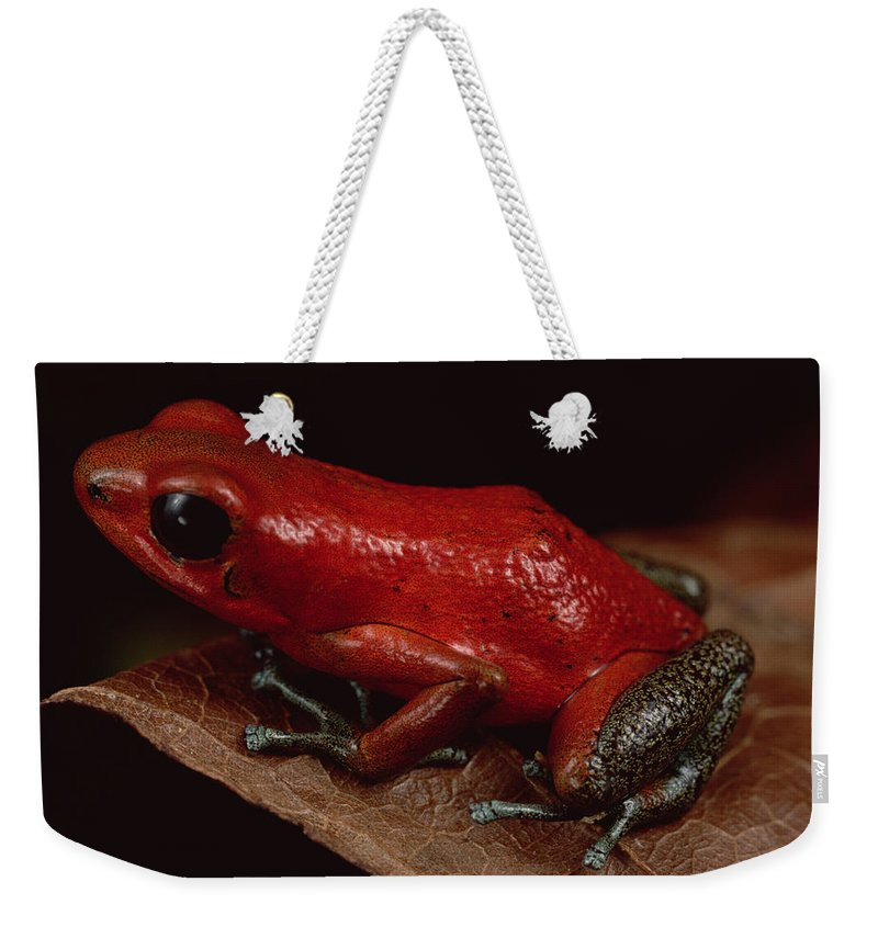 Mp Weekender Tote Bag featuring the photograph Strawberry Poison Dart Frog Dendrobates by Mark Moffett