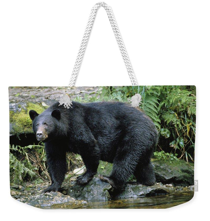 Animals Weekender Tote Bag featuring the photograph A Black Bear, Ursus Americanus, Walks by Bill Curtsinger