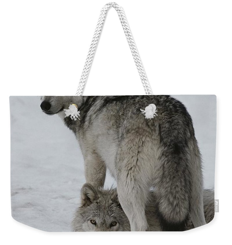 Subject Weekender Tote Bag featuring the photograph A Gray Wolf, Canis Lupus, Stands by Jim And Jamie Dutcher