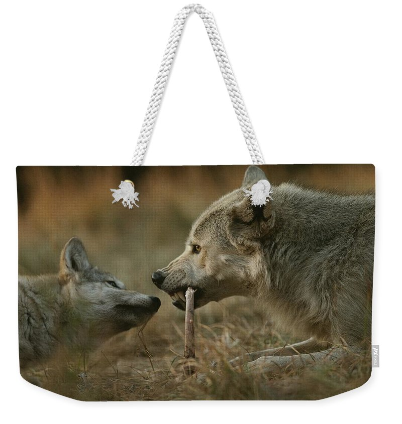Subject Weekender Tote Bag featuring the photograph A Gray Wolf Pup, Canis Lupus, Begs An by Jim And Jamie Dutcher