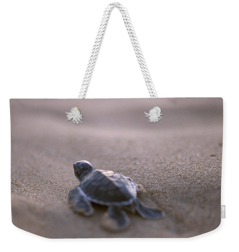 Bentota Weekender Tote Bag featuring the photograph A Green Sea Turtle Hatchling Races by Jason Edwards