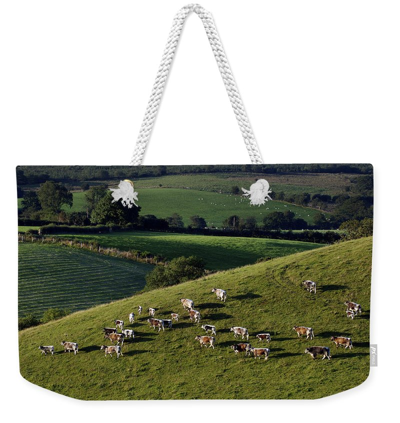 Color Image Weekender Tote Bag featuring the photograph A Herd Of Cattle Graze On Rolling Green by Jim Richardson