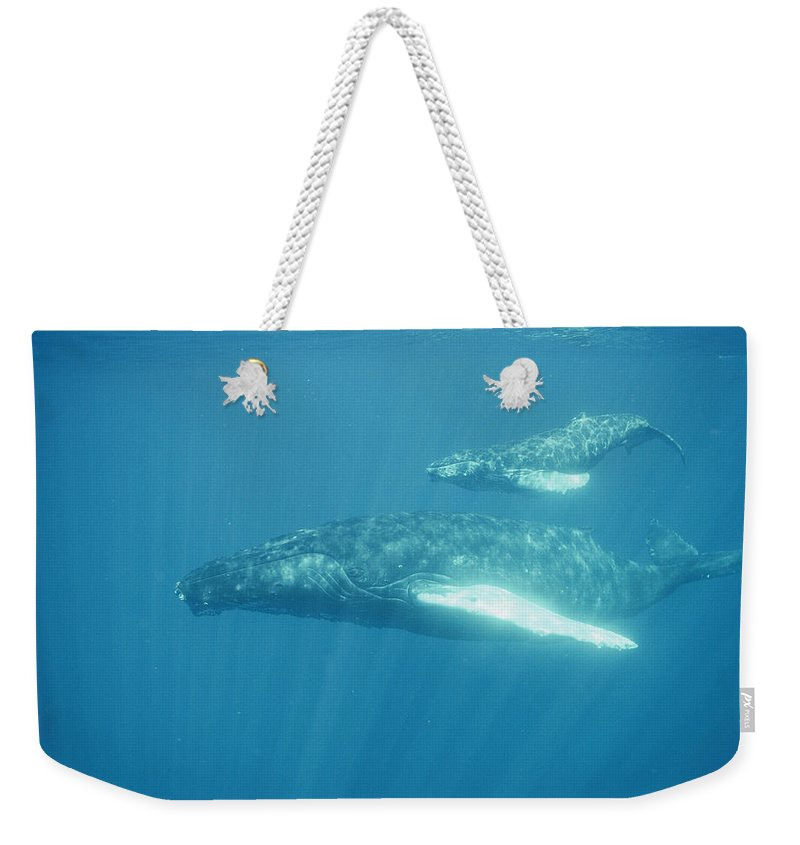 Underwater Photography;juvenile Marine Mammals;close Views;rare Weekender Tote Bag featuring the photograph A Humpback Mother Swims With Her Calf by Bill Curtsinger