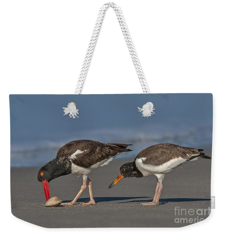 American Oystercatcher Weekender Tote Bag featuring the photograph A Lesson In Fine Dinning by Susan Candelario
