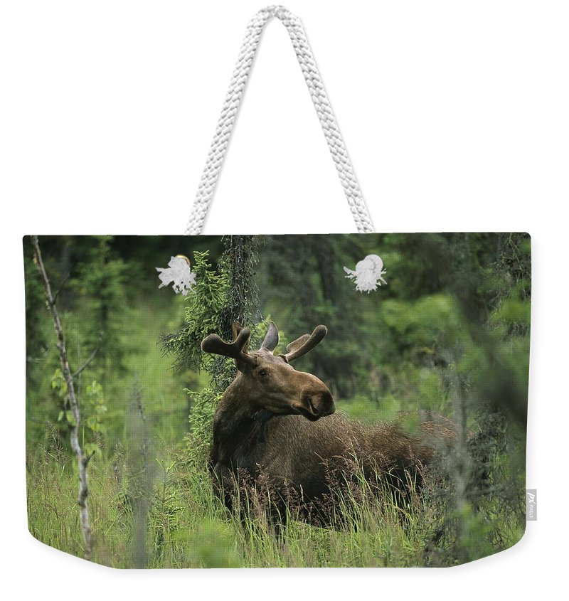 Animals Weekender Tote Bag featuring the photograph A Moose Stands In Tall Grass by Melissa Farlow