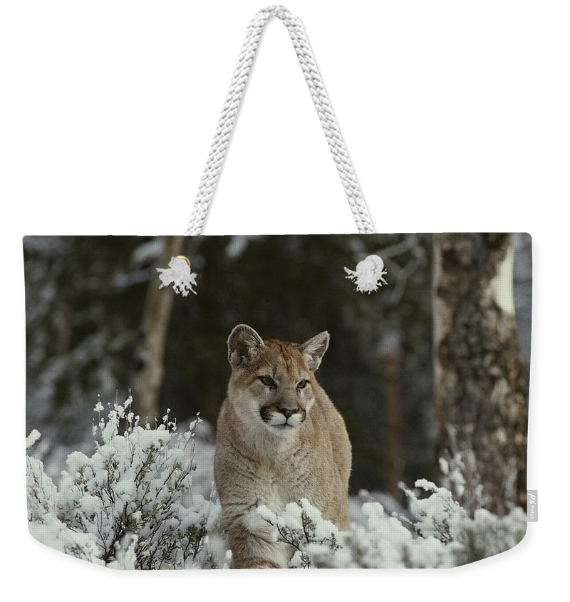 North America Weekender Tote Bag featuring the photograph A Mountain Lion, Felis Concolor by Jim And Jamie Dutcher