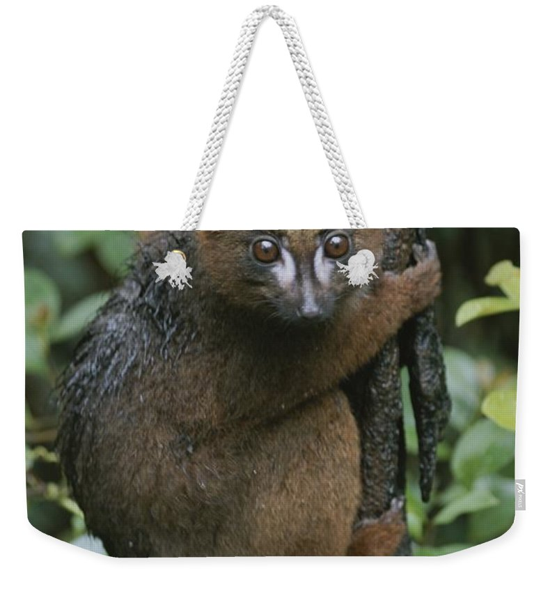 Animals Weekender Tote Bag featuring the photograph A Red-bellied Lemur Clings To A Tree by Michael Melford