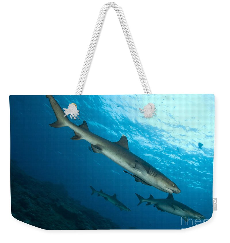 Kimbe Bay Weekender Tote Bag featuring the photograph A Trio Of Whitetip Reef Sharks, Kimbe by Steve Jones