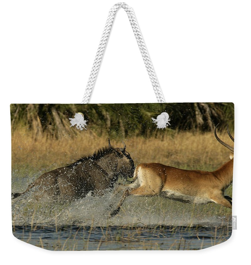 Color Image Weekender Tote Bag featuring the photograph A Wildebeest And A Red Lechwe Leap by Beverly Joubert