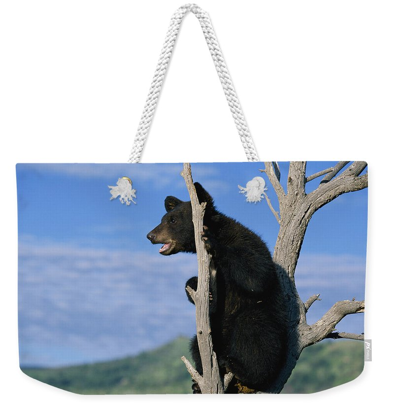 North America Weekender Tote Bag featuring the photograph A Young American Black Bear Urus by Norbert Rosing