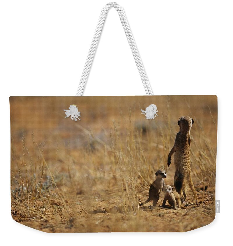 Africa Weekender Tote Bag featuring the photograph An Adult Meerkat Stands Guard Over Two by Mattias Klum