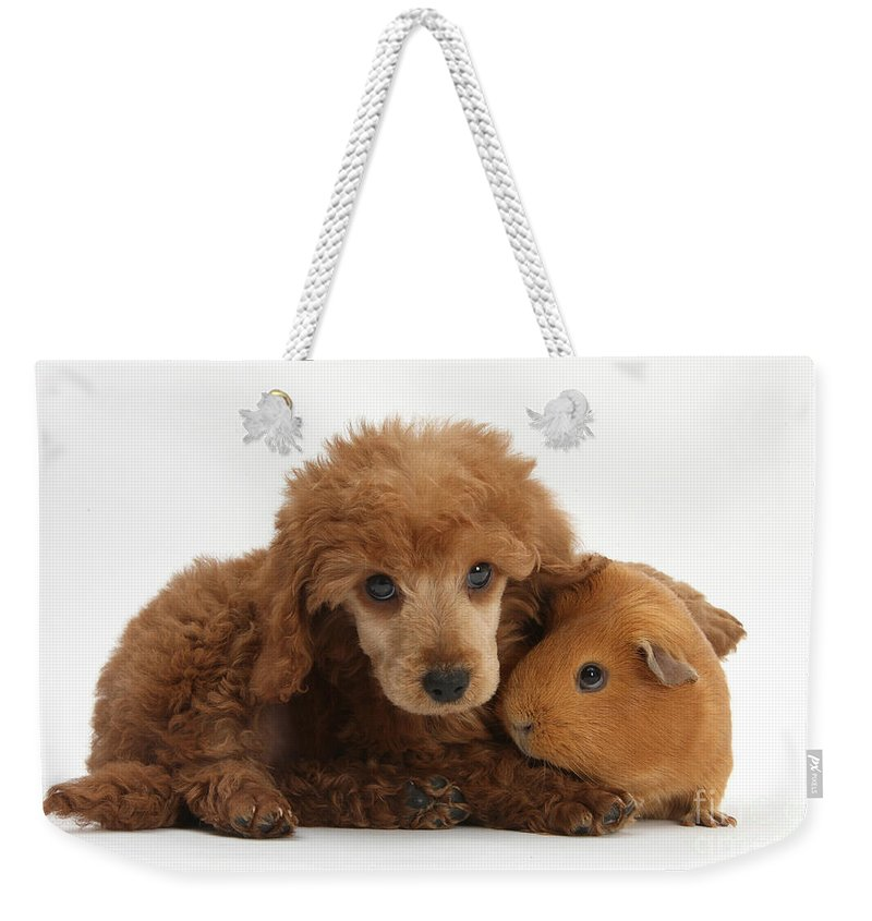 Nature Weekender Tote Bag featuring the photograph Apricot Miniature Poodle Pup With Red by Mark Taylor