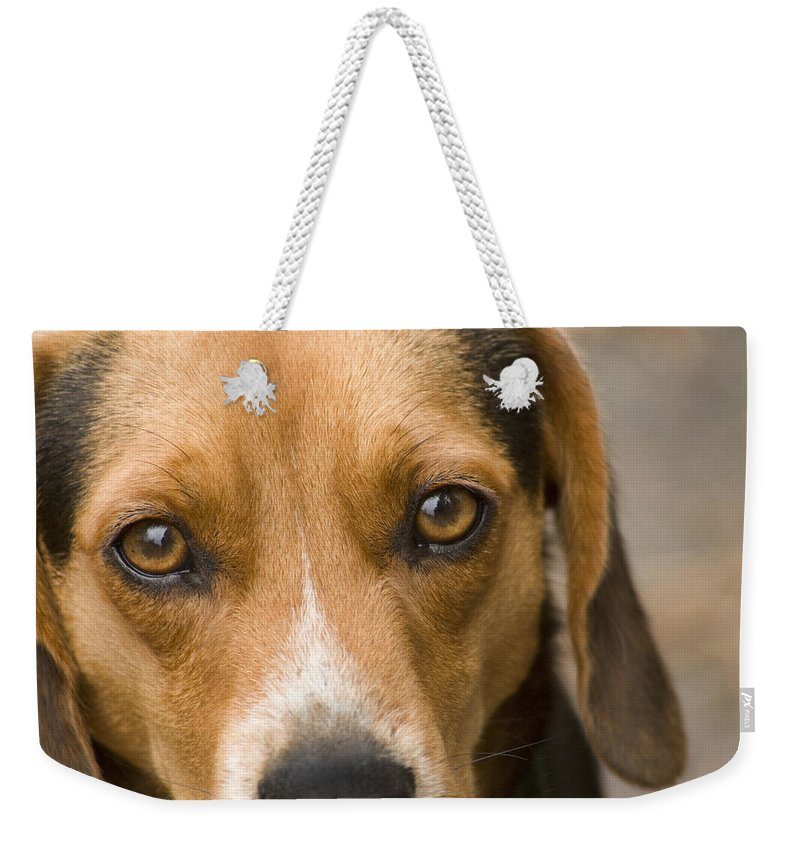 Dog Weekender Tote Bag featuring the photograph Beagle Hound Dog Eyes Of Love by Kathy Clark