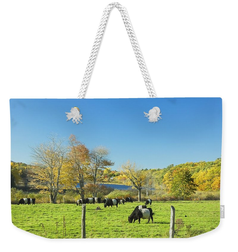 Cow Weekender Tote Bag featuring the photograph Belted Galloway Cows Grazing On Grass In Rockport Farm Fall Main by Keith Webber Jr
