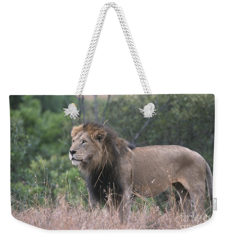 Lion Weekender Tote Bag featuring the photograph Black Maned Lion by Sandra Bronstein