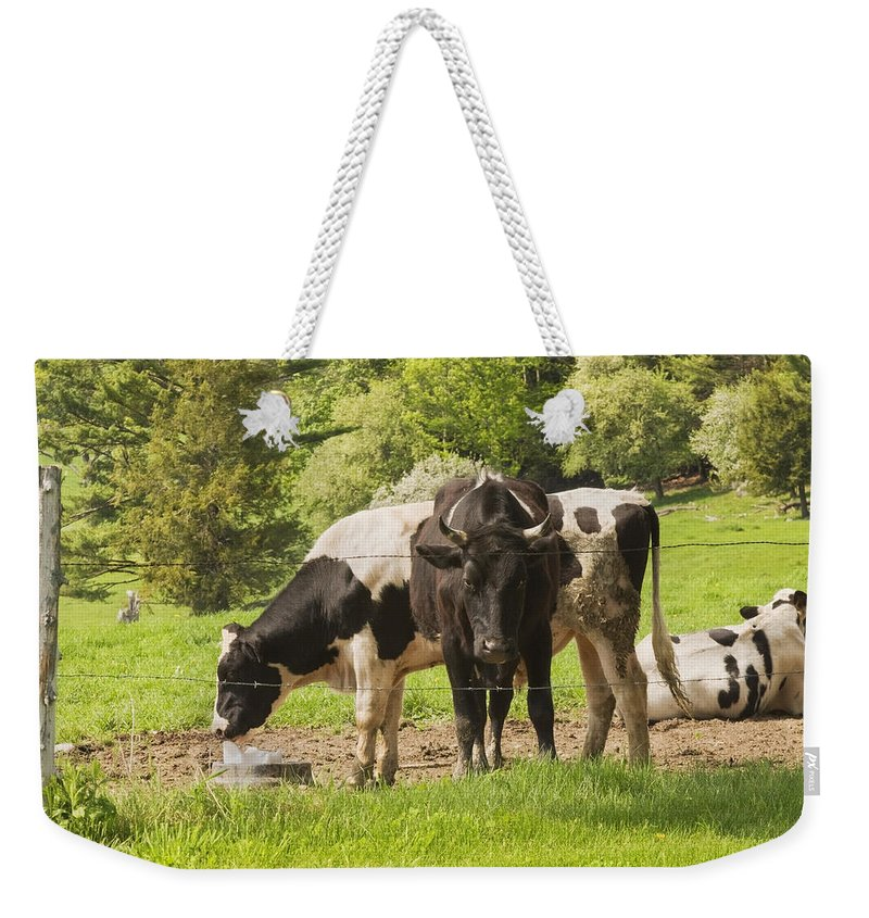 Cow Weekender Tote Bag featuring the photograph Bull And Cows Grazing On Grass In Farm Maine by Keith Webber Jr
