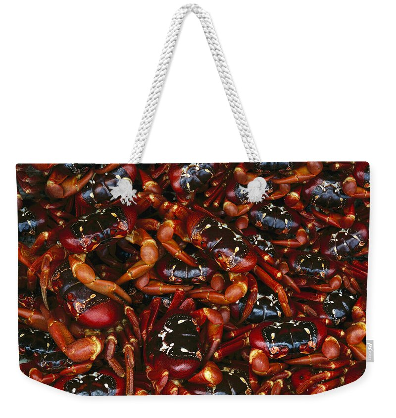 Ai Weekender Tote Bag featuring the photograph Christmas Island Red Crab Gecarcoidea by Jean-Paul Ferrero