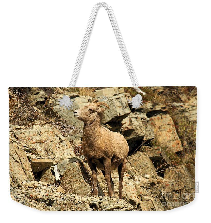 Big Horn Sheep Weekender Tote Bag featuring the photograph Cliff Hanger by Adam Jewell