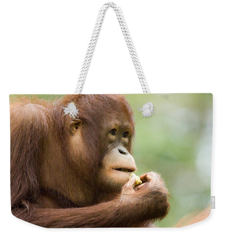 One Animal Weekender Tote Bag featuring the photograph Close-up Of An Orangutan Pongo Pygmaeus by Tim Laman