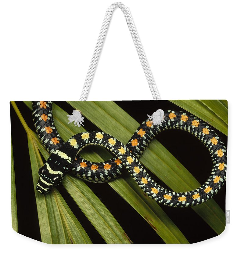 Mp Weekender Tote Bag featuring the photograph Colubrid Snake Boiga Sp A Flying Snake by Mark Moffett