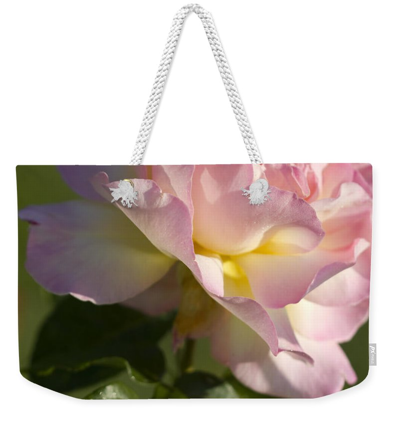 Peace Rose Weekender Tote Bag featuring the photograph Cotton Candy Pink Peace Rose by Kathy Clark