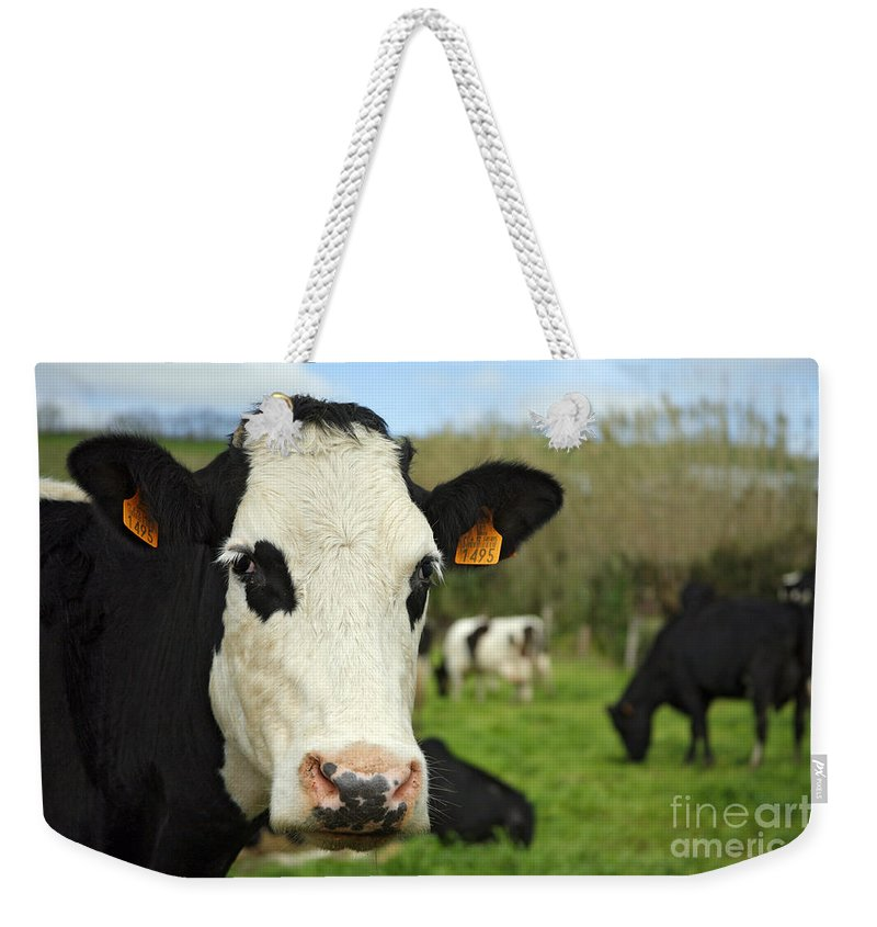 Cows Weekender Tote Bag featuring the photograph Cow Facing Camera by Gaspar Avila