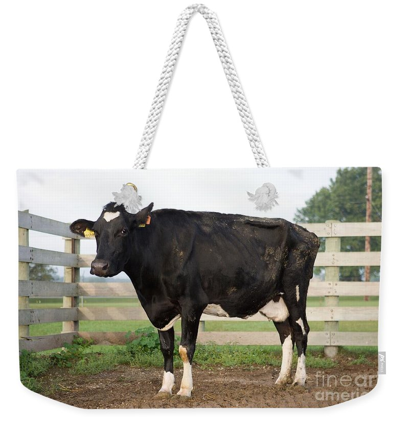 Animal Weekender Tote Bag featuring the photograph Cow With Johnes Disease by Science Source