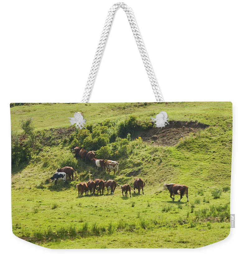 Cow Weekender Tote Bag featuring the photograph Cows Grazing On Grass In Farm Field Summer Maine by Keith Webber Jr