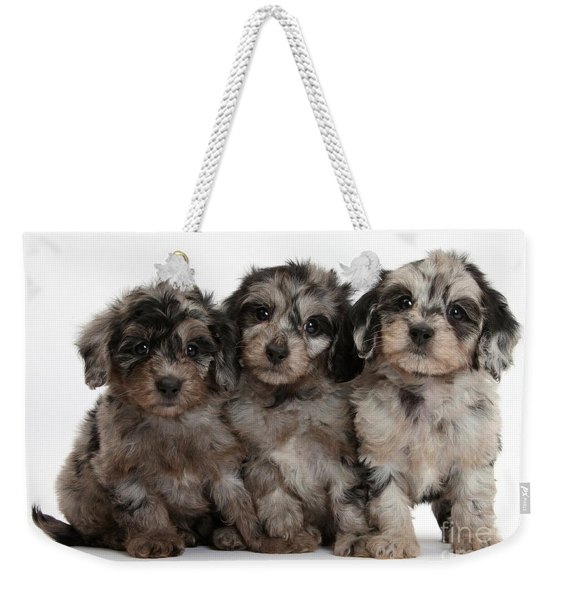Nature Weekender Tote Bag featuring the photograph Daxiedoodle Poodle X Dachshund Puppies by Mark Taylor