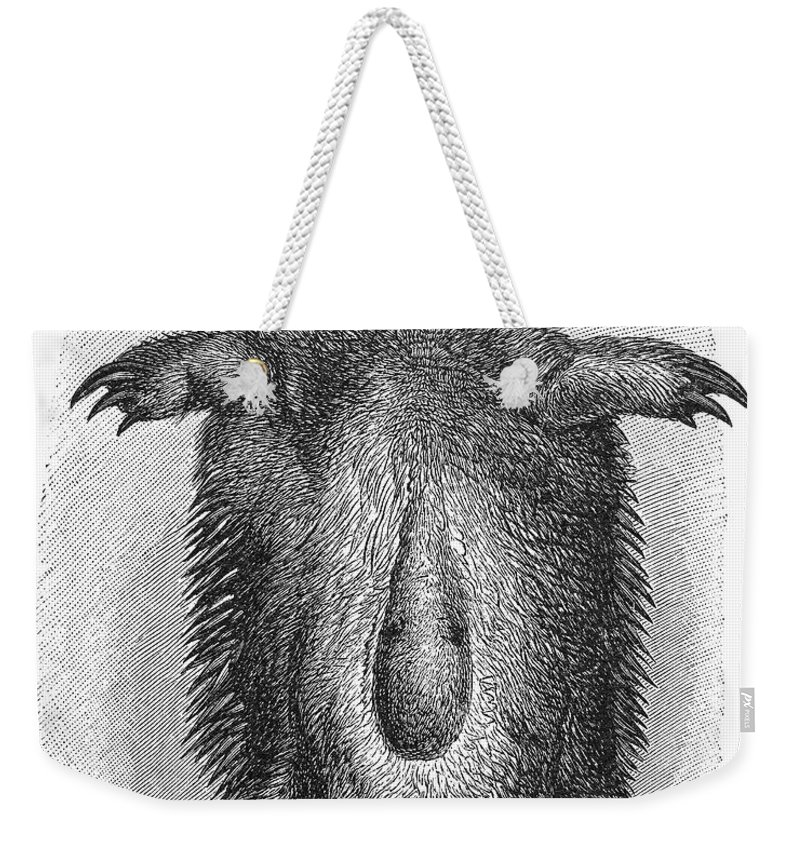 19th Century Weekender Tote Bag featuring the photograph Echidna by Granger