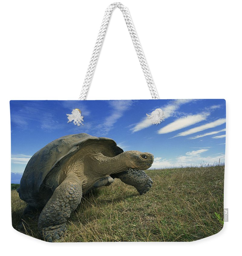 Mp Weekender Tote Bag featuring the photograph Galapagos Giant Tortoise Geochelone by Tui De Roy