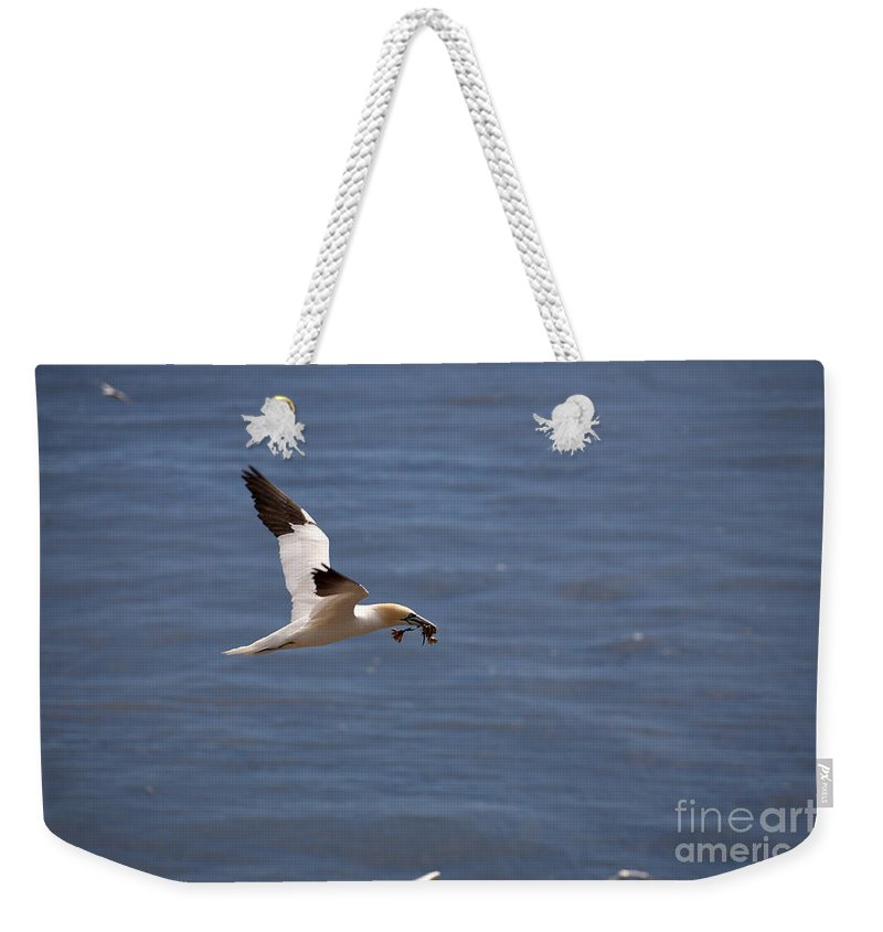 Northern Gannet Weekender Tote Bag featuring the photograph Gannet In Flight by Ted Kinsman