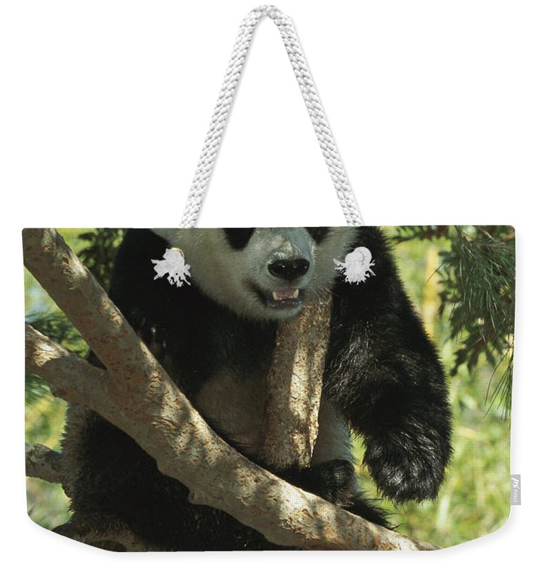 Mp Weekender Tote Bag featuring the photograph Giant Panda Ailuropoda Melanoleuca by San Diego Zoo