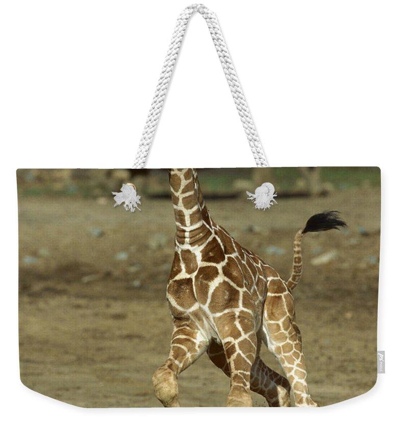 Mp Weekender Tote Bag featuring the photograph Giraffe Giraffa Camelopardalis Juvenile by Zssd