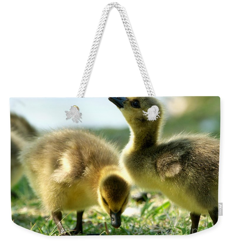 Designs Similar to Goslings 6 by Sharon Talson