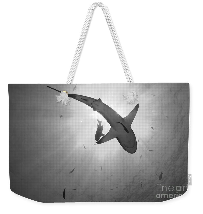 Kimbe Bay Weekender Tote Bag featuring the photograph Gray Reef Shark, Kimbe Bay, Papua New by Steve Jones